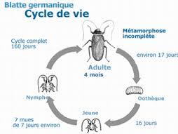 Cycle de vie d'un cafard